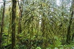 Amazing rain forest near Forks Bogachiel Clallam County - FORKS - WASHINGTON. Amazing rain forest near Forks Bogachiel Clallam County Royalty Free Stock Photos