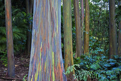 Amazing rainbow eucalyptus. Colorful, unusual rainbow eucalyptus tree trunks, Keanae Arboretum, Maui, Hawaii stock images