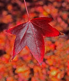Amazing red autumn leaf. The amazing colours of autumn with beautiful reds, oranges and browns stock photo