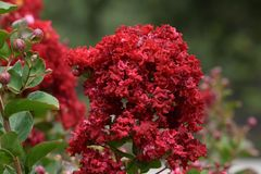 Red Flowers, Bunched. Amazing Red Flowers on shrubs about five feet tall royalty free stock image