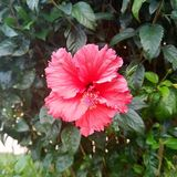 Amazing Red Hibiscus At The Garden. A beautiful red hibiscus at the garden Royalty Free Stock Photography
