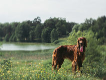 Amazing red irish setter in summer evening forest dog Stock Images