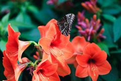 Amazing red lily with cute lime butterfly in spring garden. Real butterfly on petals of coral butterfly flowers. Beautiful blooming lily with pretty happy Stock Photography