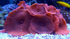 Amazing red Mushroom Colony coral Stock Image