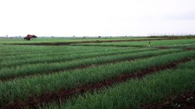 4. Amazing red Onion Plants Landscape In The Rice Field. Amazing red Onion Plants Landscape In The Rice Field royalty free stock images