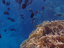 Amazing red sea snorkeling Royalty Free Stock Photography
