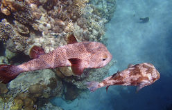 Amazing red sea snorkeling Stock Photography