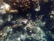 Amazing red sea snorkeling Royalty Free Stock Photo