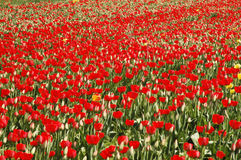 Amazing red tulip field in spring. Beautiful field of red blooming tulips Royalty Free Stock Images