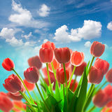 Amazing Red Tulips holiday background against blue sky Royalty Free Stock Photo