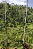 Rice terrace in Bali. Amazing Rice terraces in Bali Indonesia with a palm trees stock photo