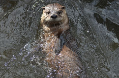 Amazing River Otter on His Back in a River Royalty Free Stock Image