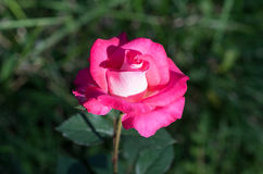 Amazing rose flower. On a dark green background of grass Stock Images