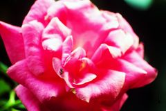 The Amazing Rose Flower in garden. A rose is a woody perennial flowering plant of the genus Rosa, in the family Rosaceae, or the flower it bears. There are over Royalty Free Stock Image