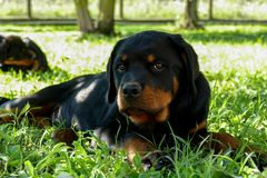 Amazing rottweiler puppy looking on the camera on the background of other puppies royalty free stock photos