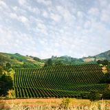 Amazing rural landscape with green vineyard Royalty Free Stock Images