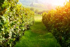 Amazing rural landscape with green vineyard Stock Photography