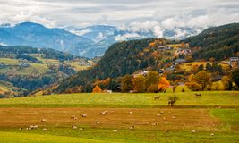 Amazing rural landscape with sheeps and cows on pasturage in Dolomite Alps, Italy. Amazing rural landscape with sheeps and cows on pasturage on foreground and Stock Photos