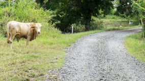 Amazing Rural Landscape with White Brown Ox by Dusty Stone Road Looking to Camera in Thailand Stock Images