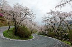 Amazing sakura cherry blossoms by the hairpin turn of a curvy highway in Miyasumi Park, Okayama, Japan. ~ Beautiful spring scenery of sakura namiki archway of Royalty Free Stock Photography