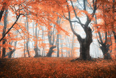 Amazing scene with autumn trees in fog. Autumn forest in fog. Fall colors. Enchanted foggy forest in fog. Old Tree. Landscape with trees, colorful orange and royalty free stock images
