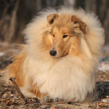 Amazing scotch collie lying in forest Stock Photography