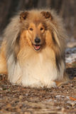 Amazing scotch collie lying in forest Royalty Free Stock Photography