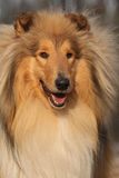 Amazing scotch collie lying in forest Stock Images