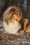 Amazing scotch collie lying in forest Stock Photo