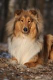 Amazing scotch collie lying in forest Stock Image