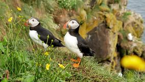 Puffin bird. Sea parrots. Iceland stock video footage