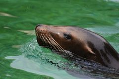 Amazing Close Up of this Brown Sea Lion. Amazing Sea Lion Up Close in the Water Stock Image