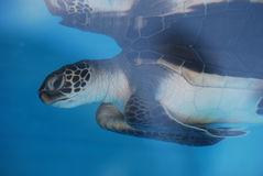 Amazing Sea Turtle Reflected in the Water Royalty Free Stock Images