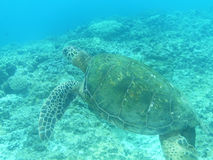 Amazing Sea Turtle Swimming Royalty Free Stock Photography
