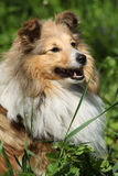 Amazing sheltie in the garden Royalty Free Stock Images