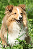 Amazing sheltie in the garden Stock Photo
