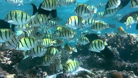 Amazing shoal of Convict tang off a reef in Ningaloo. Western Australia.