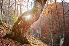 Amazing shot of sunlight froom hole of moss tree. Sun shine Royalty Free Stock Photo