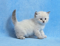 Amazing Siberian colorpoint kitten. Small amazing siberian neva masquerade colorpoint kitten on blue background Royalty Free Stock Photos