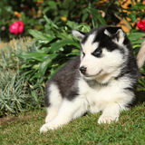 Amazing siberian husky lying in front of red flowers Stock Images