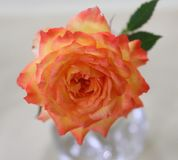 Apricot Me Not!. Amazing single apricot rose rose nestled in a glass vase creates an uplifting orange vibe Stock Image