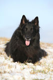 Amazing six years old Groenendael lying in snow Royalty Free Stock Photo