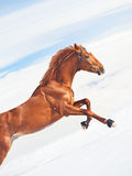 Amazing sorrel horse in jump at blue  sky. Background sunny day Royalty Free Stock Photography
