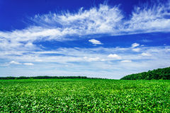 Amazing of soy plants in a cultivated farmers field. Royalty Free Stock Photography