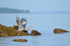 Amazing Spread Wings of Grate Blue Heron. Wings of great blue heron spead in flight Stock Photos