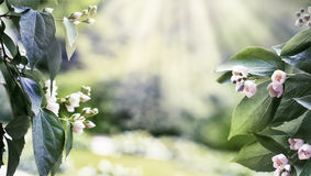 Amazing spring floral background, jasmine white flowers Royalty Free Stock Images
