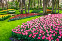 Wonderful colorful fresh tulips in Keukenhof park, Netherlands, Europe. Amazing spring landscape, spectacular Keukenhof garden with colorful fresh tulips Stock Photography