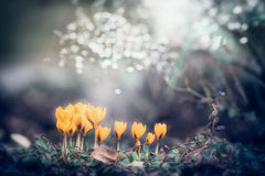 Amazing spring nature background with crocuses flowers in garden or park Royalty Free Stock Image