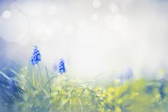 Amazing spring nature with wild grape hyacinths. Springtime background. Amazing spring nature with wild grape hyacinths. Springtime flowers background stock image