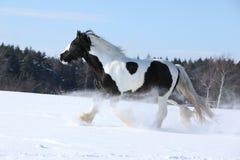 Amazing stallion of irish cob running in winter Stock Photography